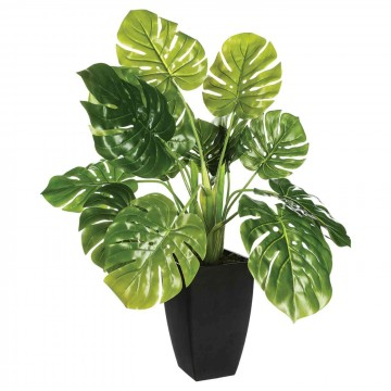MONSTERA DORTY 70CM